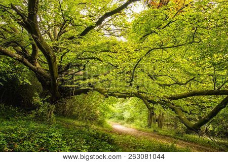 Tree Lined Track Underneath The Dense Green Foliage Of A Woodland On The Goodwood Estate Near Chiche