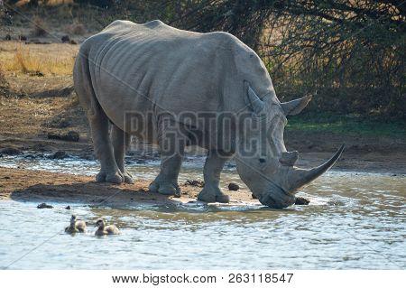 Cute Bull White Rhino Drinking Water From Makorwane Dam In Pilanesberg National Park