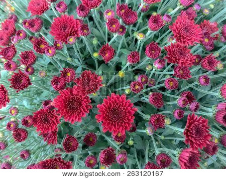 Overhead View Of Red Mum Flowers Blooming