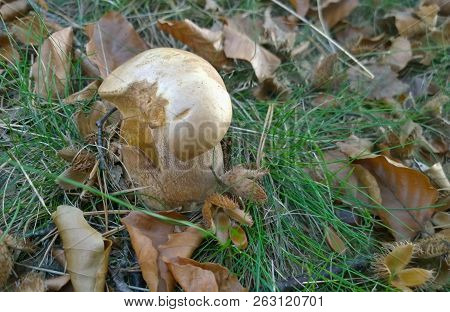 View Of Autumn Mushrooms, Southern Bohemia, Czech Republic