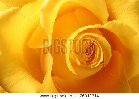 Detail of yellow rose