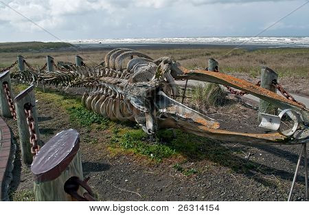 Very Old Gray Whale Skelton On Beach