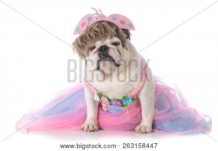 funny female bulldog with attitude wearing tutu