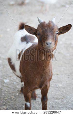 Lovely Goat Looking Directly At The Camera