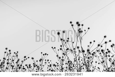 Black and white image of wilted burdock plants with hooked burs silhouetted against the sky. It is early in the morning of a sunny day in the beginning of the autumn season in the Netherlands. poster