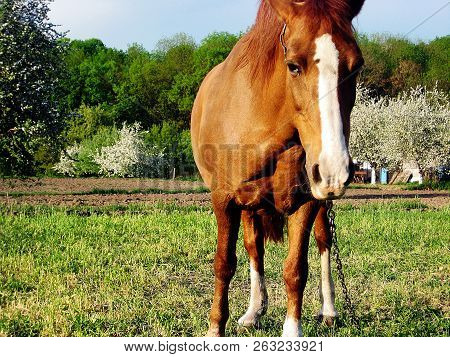 Beautiful Wild Brown Horse Stallion On Summer Flower Meadow, Equine Eating Green Grass. Horse Stalli