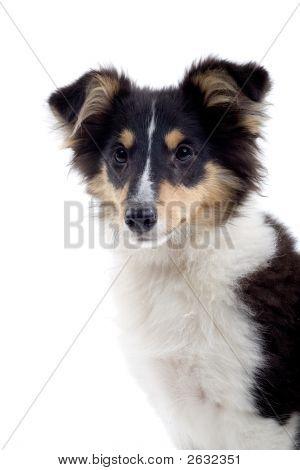 Shetland Dog'S Portrait