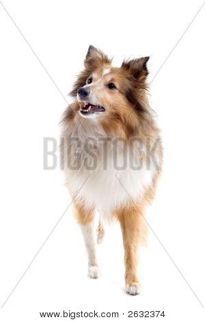 Adorable Shetland Dog On The Move