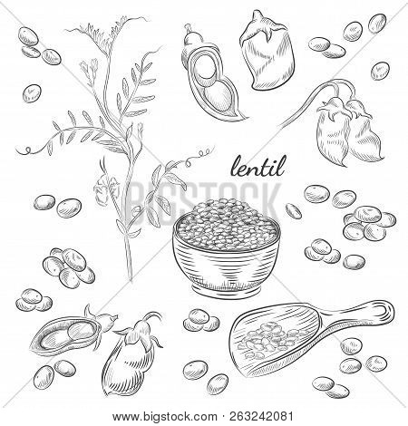 Lentil Plant Hand Drawn Illustration. Peas And Pods Sketches. Scoop For Lentils Isolated On White Ba