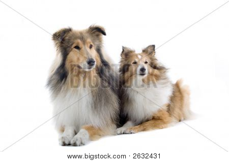 Two Lovely Shetland Dogs