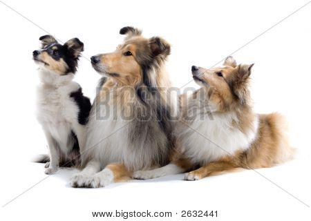 Three adorable Sheltand dogs sitting down posing isolated on a white background poster