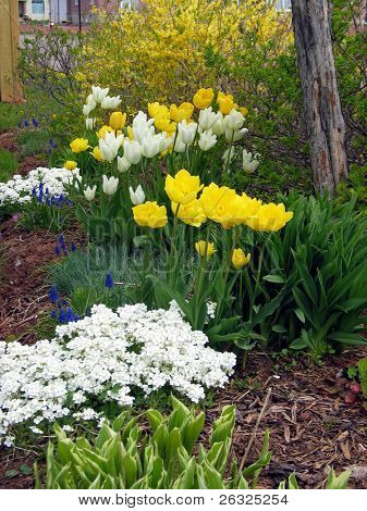 Early spring garden with tulips and forsythia