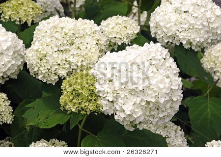 A common flowering garden shrurb in North America, the Anabelle Hydrangea.