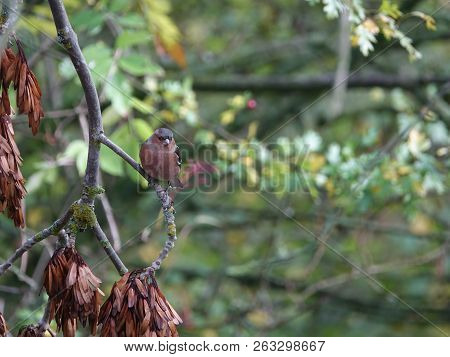 Male Chaffinch (fringilla Coelebs) Perched On Branch In Woodland