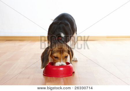 Cute beagle puppy eating from a dish