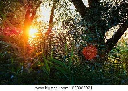 Sunset Sunrise In Spring Coniferous Forest Trees. Nature Woods.