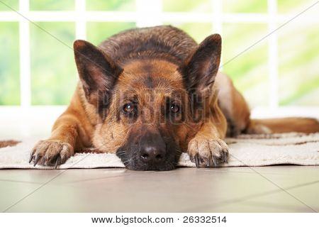 German shepherd dog laying on the carpet in home