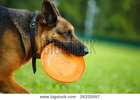 Dog German Shepherd with flying disc running outdoors