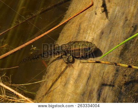 Tadpole With Hind Legs Sitting On A Log Near The Surface Of The Water And Basking In The Sun