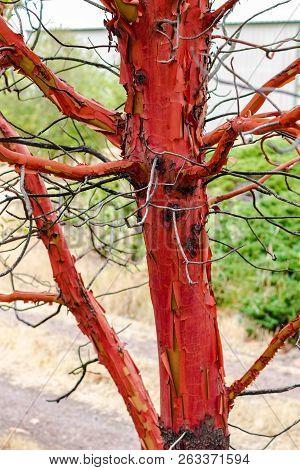 Twisted Gnarled Peeling Madrona Tree With Leaves