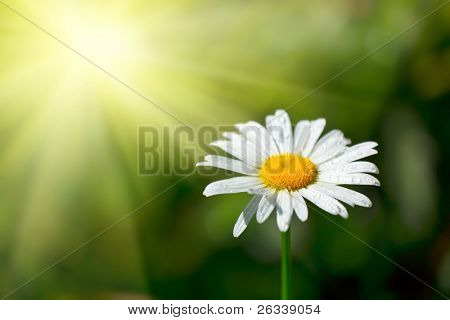 White chamomile with water drops macro in field