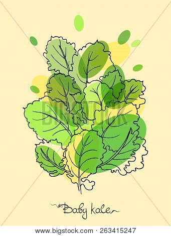 Baby Kale Botanical Vector Illustration In Engraved Style With Lettering.
