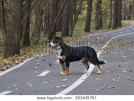 The Entlebucher Sennenhund On The Road In The Autumn Forest