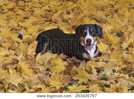 The Entlebucher Sennenhund Lying On Yellow Leaves In The Autumn Forest