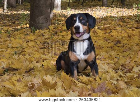 The Entlebucher Sennenhund Sitting On Yellow Leaves In The Autumn Forest