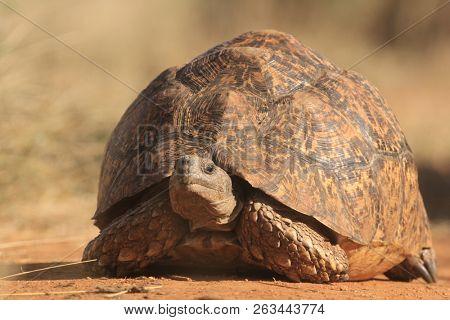 Leopard Tortoise. African tortoise species