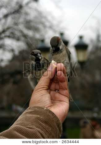 Two tame sparrows eating bread from a hand poster