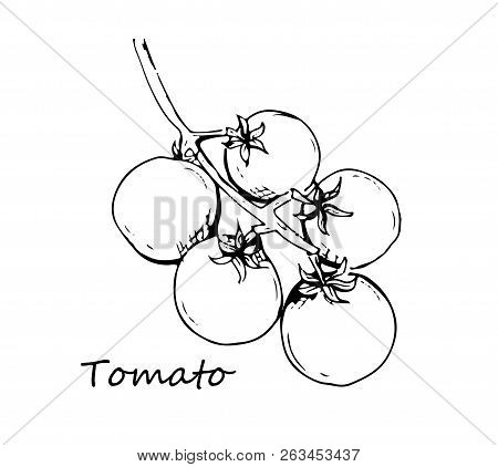 Tomato Vector Drawing Set. Isolated Tomato, Sliced Piece Vegetables On Branch. Engraved Style Illust