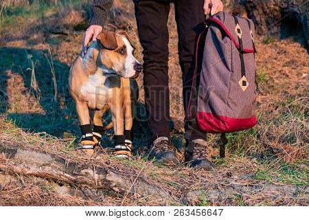 Hiker And Dog In Hiking Shoes Stand Side By Side In The Forest. Dog In Hiking Boots And Male Person