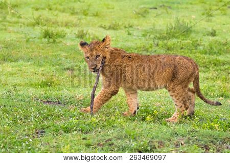 Young Lion Cub playing fetch with wooden stick. Wet youngling in rain at Ngorongoro Crater, Arusha Region, Tanzania, East Africa