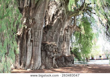 Tree of Tule (Taxodium huegelii, Montezuma cypress tree), said to be the oldest and largest tree in the world, over 2000 years old, Santa Maria del Tule, Oaxaca, Mexico. UNESCO world heritage site
