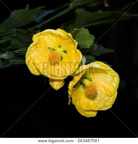 Yellow Twin Flowers
