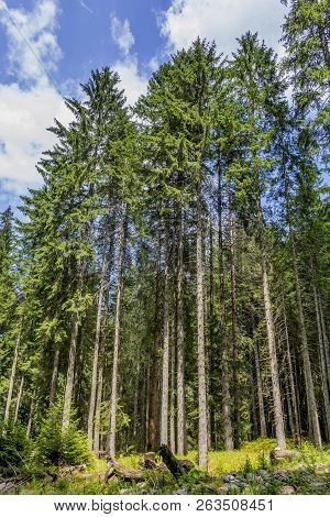 Straight Trunks Of Pine In The Virgin Forest. Pine Trees In The Virgin Forest In Carpathian Mountain