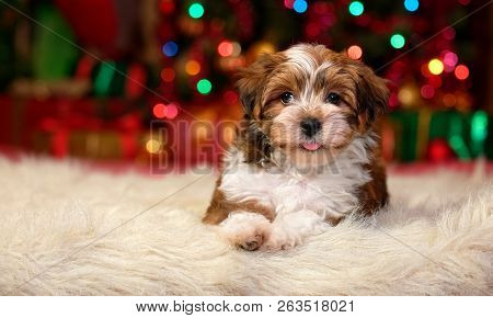 Close Up Of A Happy Bichon Havanese Puppy Dog Is Lying In Front Of A Christmas Tree Lights