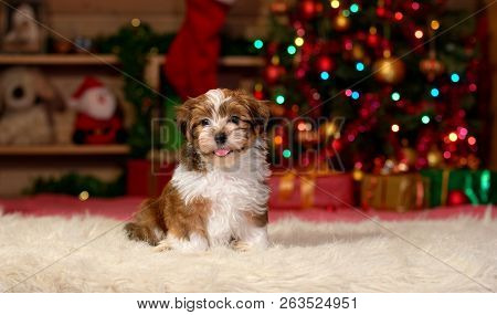 Happy Bichon Havanese Puppy Dog Is Sitting In Front Of A Christmas Tree Background