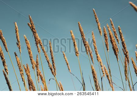 Closeup Of Golden Phragmites With Seeds, A Perennial Grass On Blue Sky Background. Mess Of Long Stan
