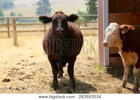 Good Looking Cows At A Farm In Montana
