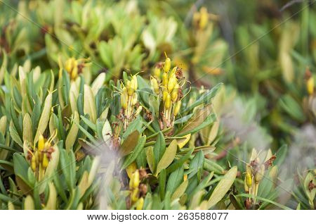 Rhododendron Yellow At Dawn. In The Mountains. Rhododendron Yellow, Rhododendron Luteum Sweet, Or Po
