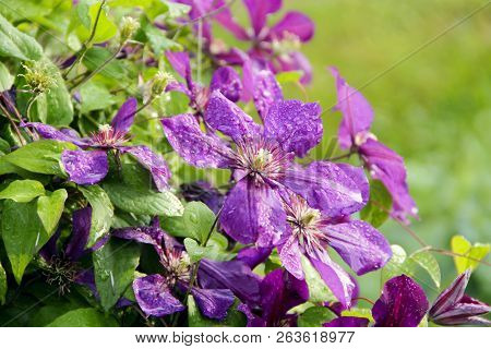 Beautiful Flowers Of Clematis Of Blossoming Violet Clematis With Droplets Of Rain. Big Bush Of Clema