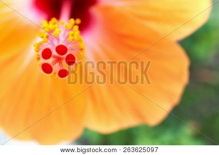 Close Up Pollen With Blur Hibiscus Rosa Sinensis And Green