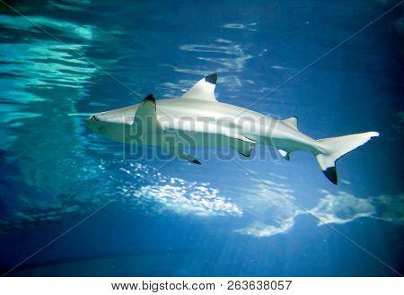 Baby Shark Underwater In Ocean