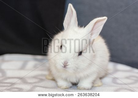 White Bunny Rabbit Looking Frontward To Viewer, Little Bunny Sitting On Sofa, Lovely Pet For Childre