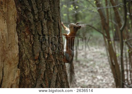 A Climbing Squirrel