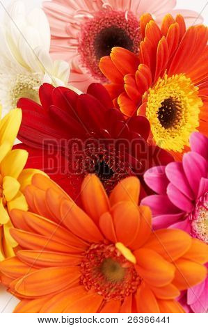 close-up of colorful gerbera flowers