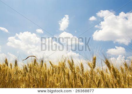 beautiful wheat field, summer plants