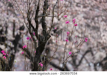 Delicate pink cherry tree blossom in a park near Kyoto, Japan